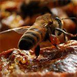 прополис пчелиный
